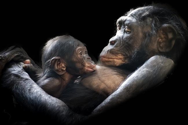 1-gorila