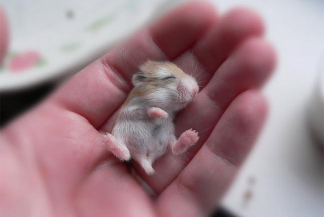 5-hamster