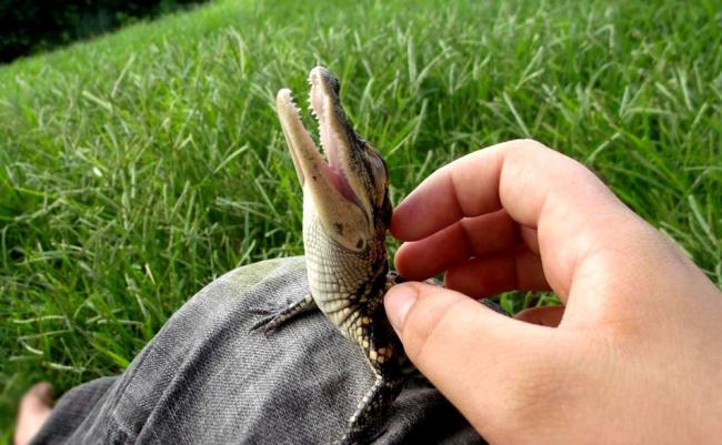 7-crocodil