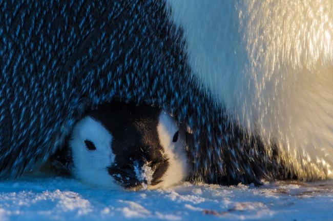 8-pinguin